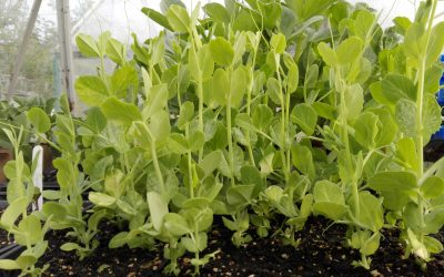 Veg of the Week- growing notes