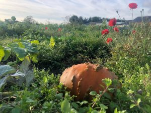 pumpkin in field with poppies